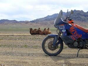 Erste Kamele am Rande der Gobi